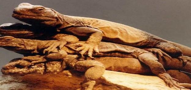 lizards-a