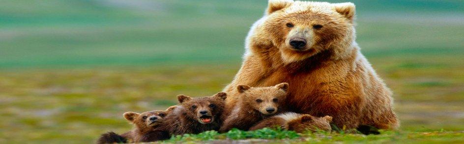 Bears-a