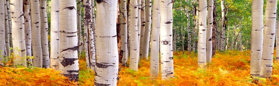 BirchTrees-a