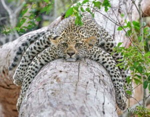 LeopardResting