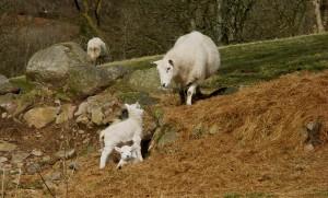 Spring Sheep3