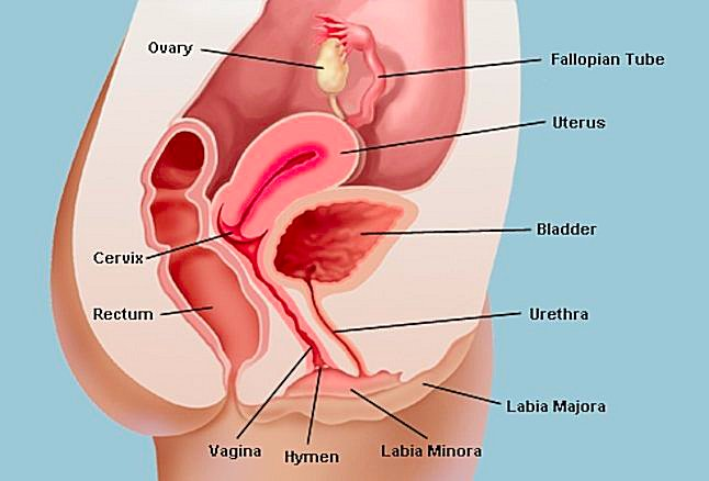 Vagina and Uterus | Dream Dictionary | dreamhawk com