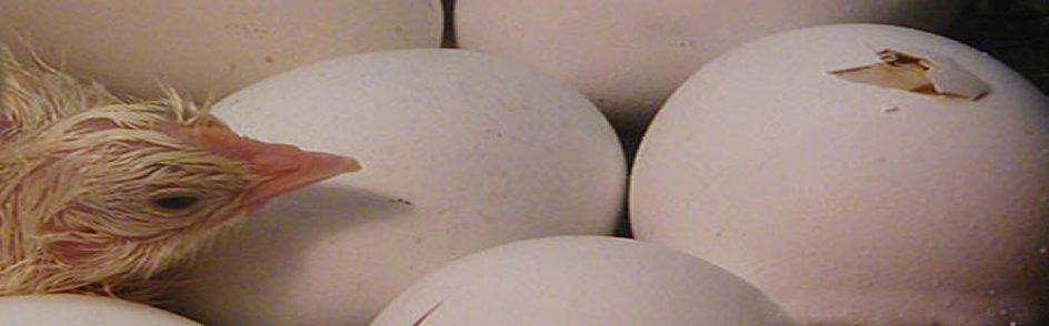 incubation-a