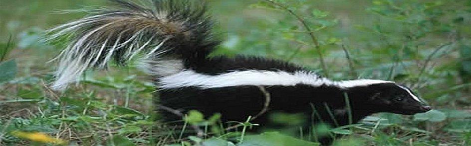skunk-a