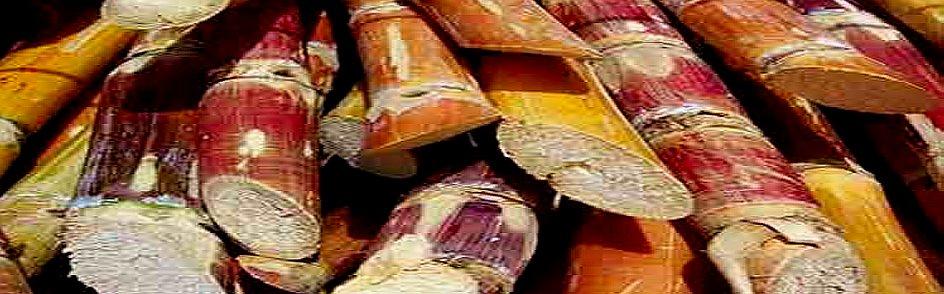 sugarcane-a